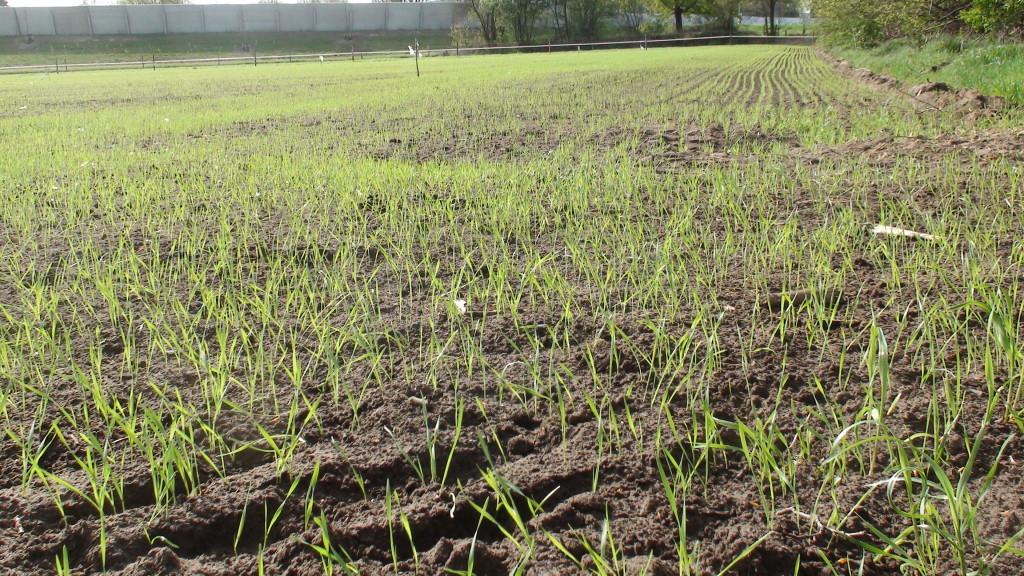 De tarwe spriet al boven de grond na 2 weken.